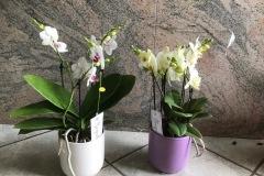 phalaenopsis-boquetto-v12-