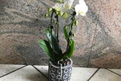 phalaenopsis-cascade-2-rami-bianco-